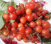 周末石龙堰樱桃采摘大人20元管吃饱  1.2米以上8元  1.2米以下免费